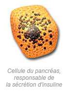 Cellule du pancréas
