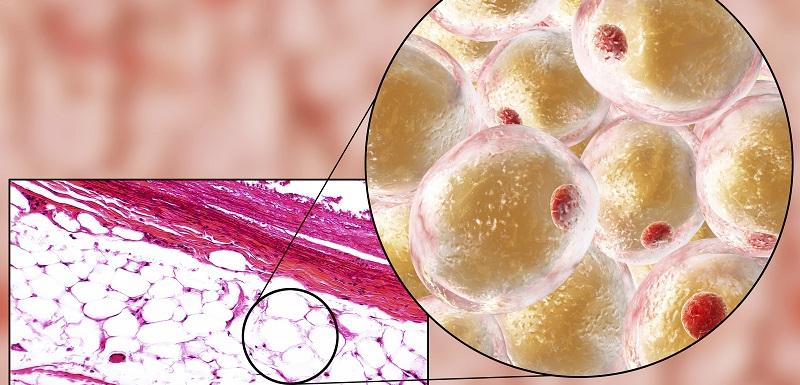 Découverte clef dans le processus cellulaire de stockage de graisses