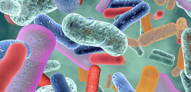 microflore bénéfique bactérie intestinale saine probiotiques obésité